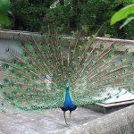 孔雀の緑色